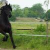 Фризийски кон (Friesian horse)