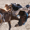 Родео (Saddle Bronc Riding)