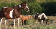 Пейнт хорс (Paint Horse)
