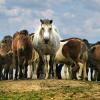 Съдбата на планинските коне в България