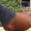 Хуцулска порода коне (Hucul)