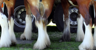 Постановка на крайниците при конете