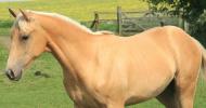 Куортър (American Quarter Horse)