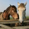 Полово поведение при конете