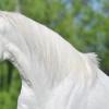 Ген за доминантен бял цвят при конете