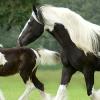 Ген за петниста окраска при конете Frame Overo