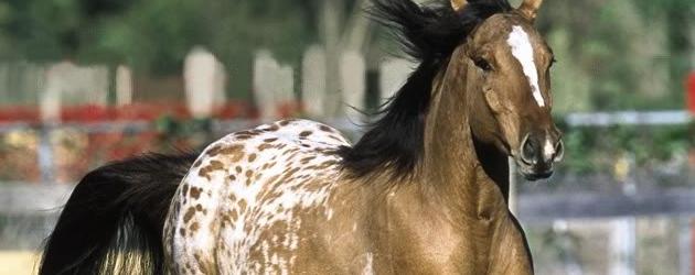 Ген за окраска Апалуза или Леопард при конете