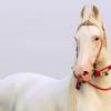 Белите коне – албиноси ли са те?