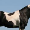 Ген за петниста окраска Тобиано при конете
