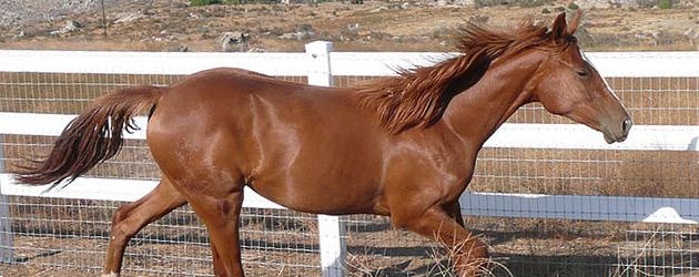 Будьоновска порода коне (Budyonny)