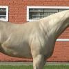 Ген за перлен цвят при конете