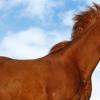 Ген за алест цвят при конете