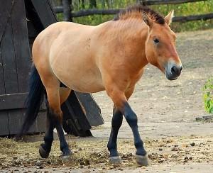 32305562_Loshad_Przhevalskogo_Equus_przewalskii