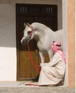 ajman stud horse