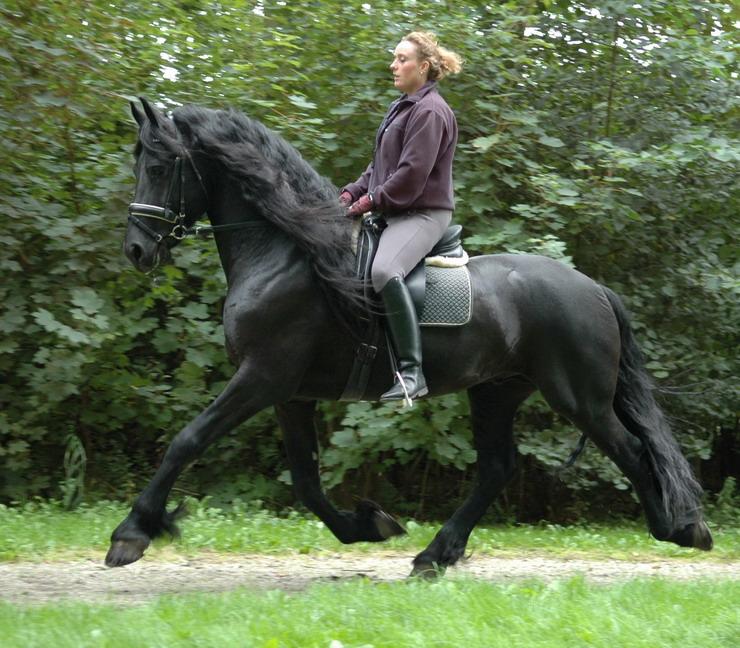 Фризийски кон Friesian Horse Езда коне В света на