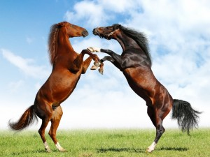 fight-of-horses