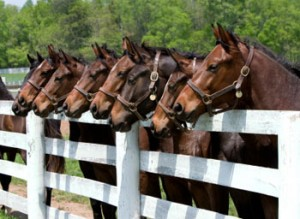 thoroughbred-horses