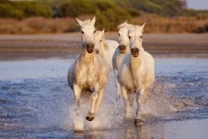 Порода коне Камарг
