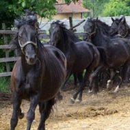 Ферма за дунавски коне Дилчеви