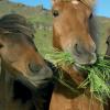 Хранене и водопой на конете
