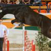 Тракененски кон (Trakehner)