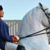 Липициански кон (Lipizzan)