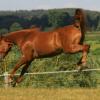 Плевенски кон (Pleven horse)