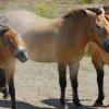 Кон на Пржевалски (Przewalskii)