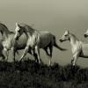 Породи коне отглеждани и развъждани в България