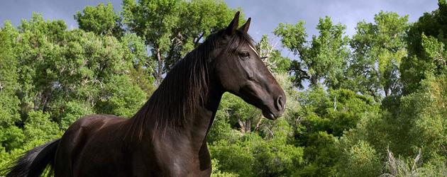 Кабардински кон (Kabarda)