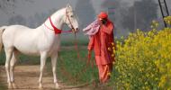 Кон Марвари (Marwari)