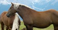 Норикийска порода коне (Noriker Horse)