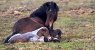 След родилни възпаления на матката при кобилите