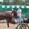 Порода коне Хакней (Hackney)