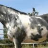 Ген за окраска Сабино при конете