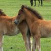 Близнаци при конете