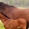 Техника на развъждане на конете