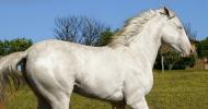 Ген за сив цвят при конете