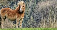 Завръщането на дивите коне