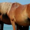 Хронична обструктивна белодробна болест при конете