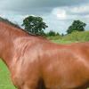 Ген за кестеняв цвят при конете