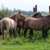 Реинтродукция на диви коне Тарпани