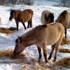 Дни на дивите коне Тарпан през април 2012