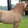 Порода коне Норвежки Фиорд